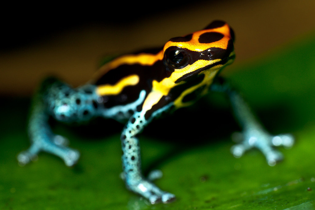 An orange, yellow, and blue poison dart frog with black striped and spots standing on a green leaf.