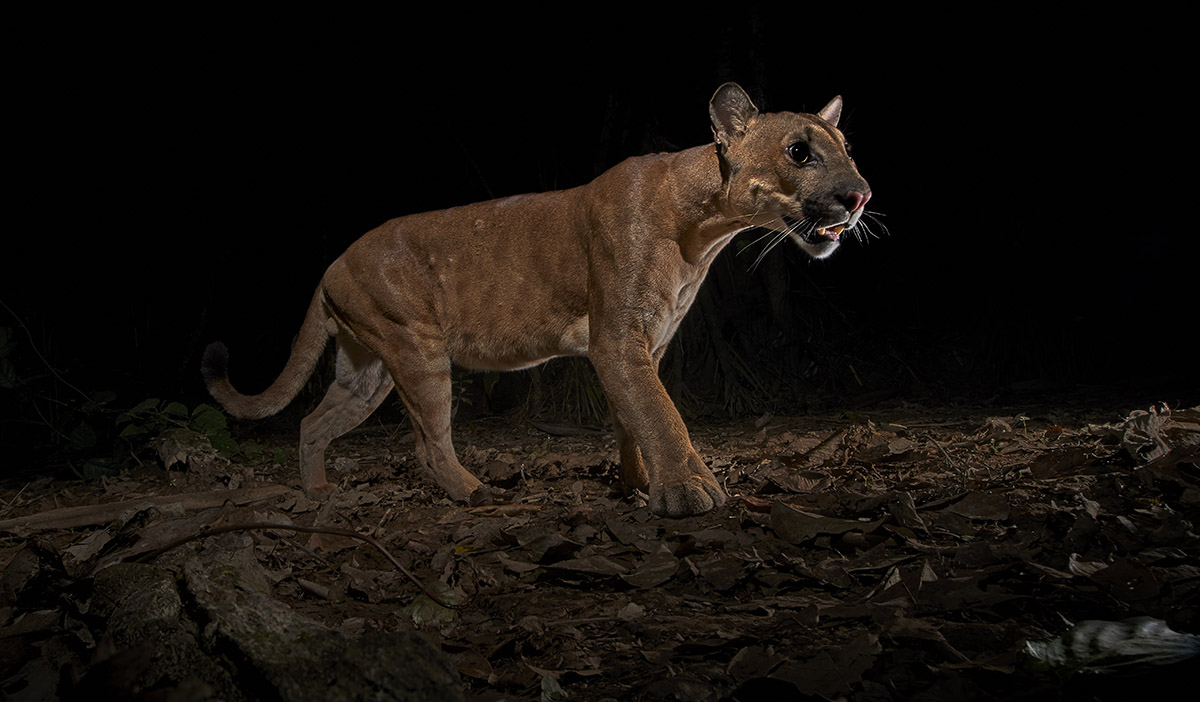 A low angle of a puma, a native cat living in the Amazon Rainforest.
