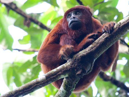 A red howler monkey sits on a tree branch in the Amazon Rainforest. Lush greenery in the background.