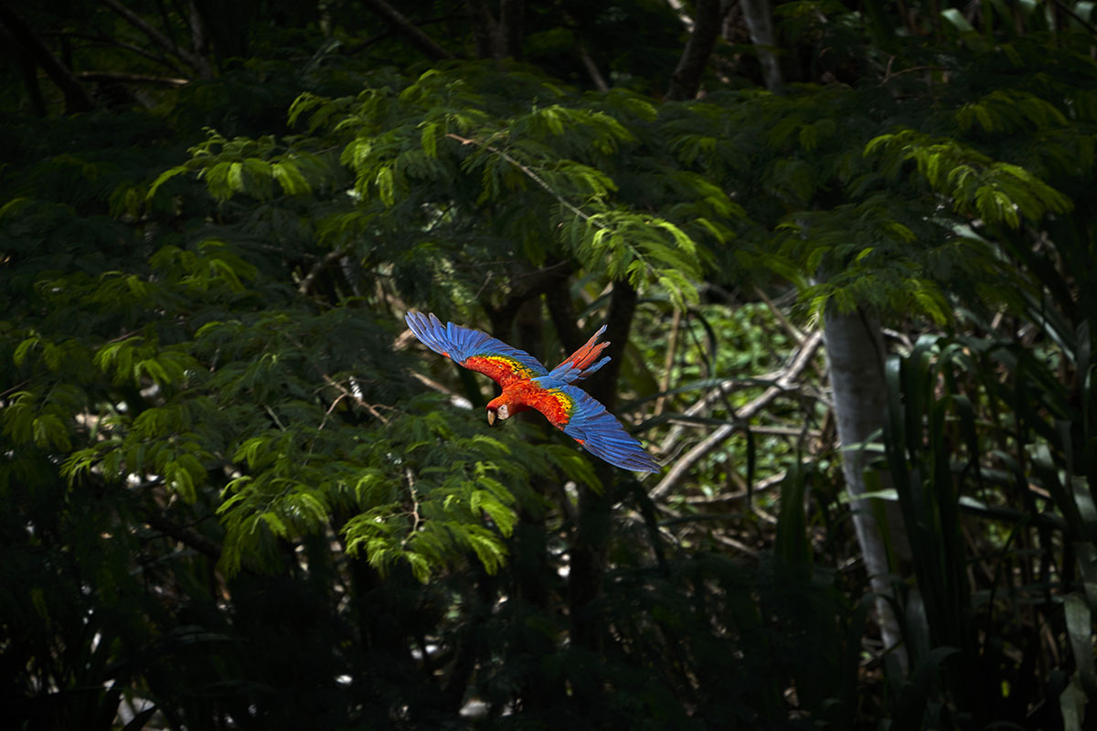 A scarlet macaw, with red, yellow, and blue feathers flies through the Amazon jungle.