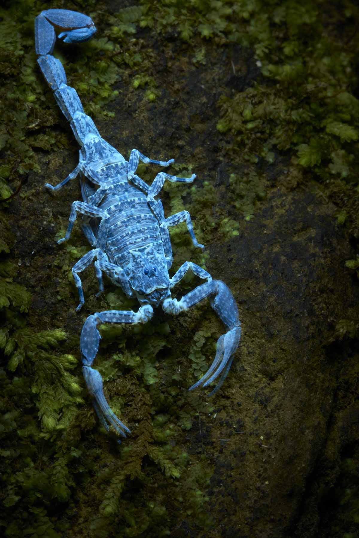 A bright blue scorpion crawling on the ground. Scorpions glow this color under ultraviolet light.