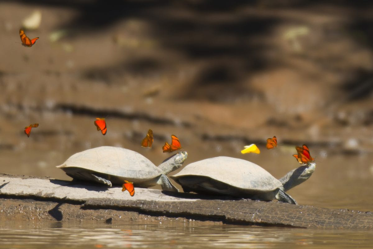 Two side-necked turtles with many orange and yellow butterflies swarming them to drink their tears.