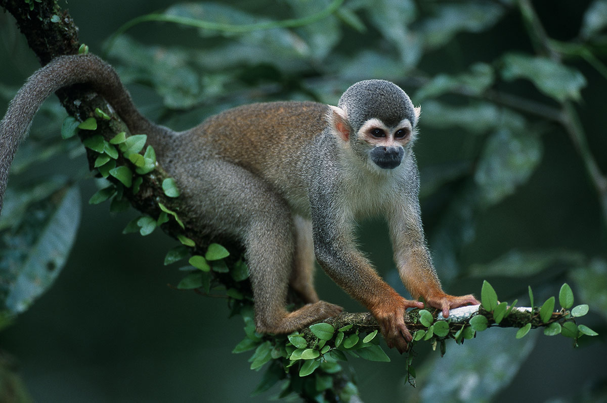 A black-capped squirrel monkey holds onto a branch with bright green leaves.