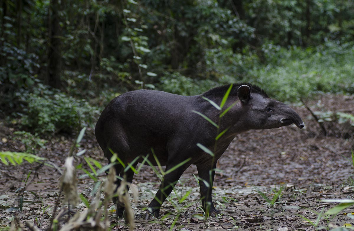 A dark brown tapir, similar in build to a pig, walks along the Amazon Rainforest floor.