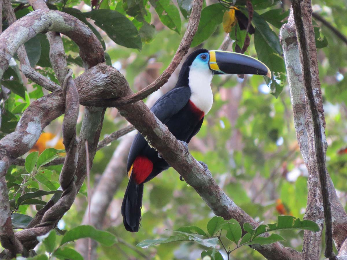 A toucan with a black and yellow beak, and blue, white, black and red plumage, rests on a branch.