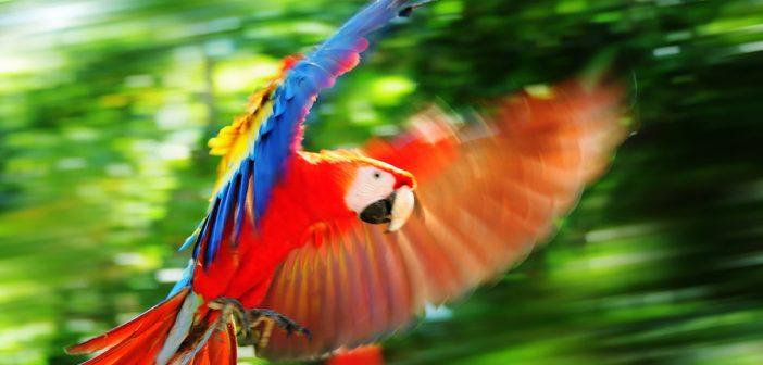scarlet-macaw-peru