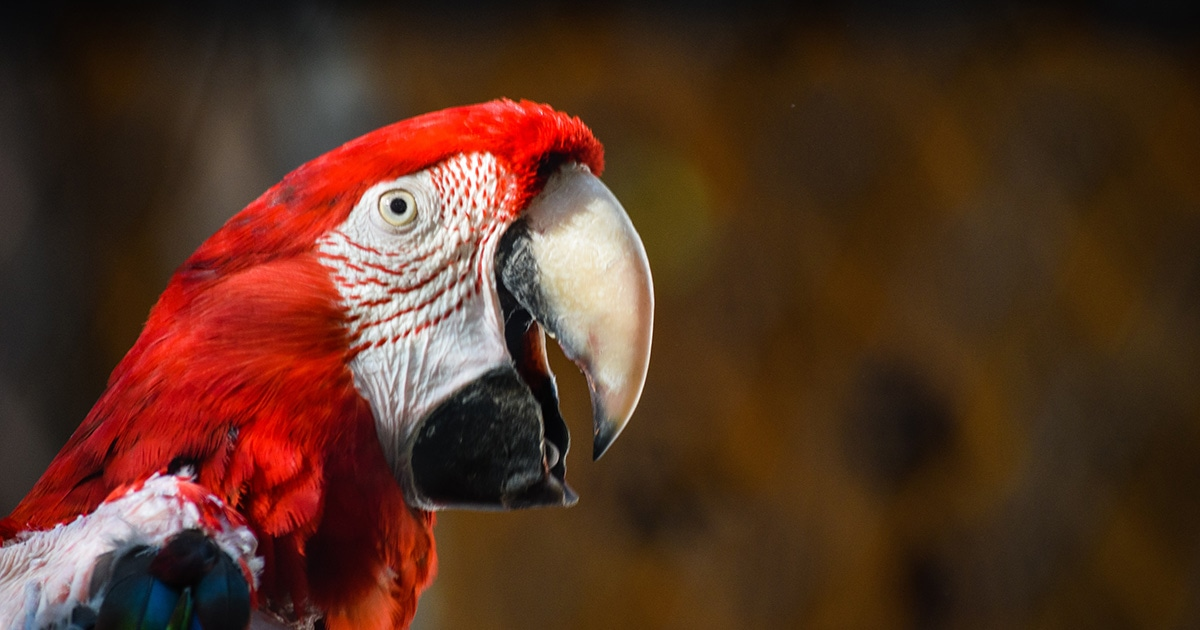 Side profile of a scarlet macaw, a red, yellow, and blue parrot native to South America.