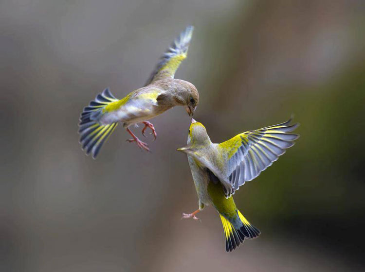Two birds with brown, yellow, and gray coloring have their noses touching mid-air.