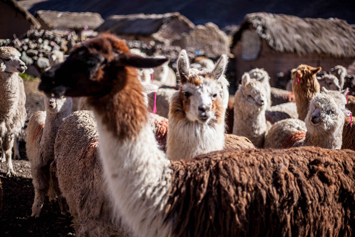 A herd of llamas along the way to Rainbow Mountain