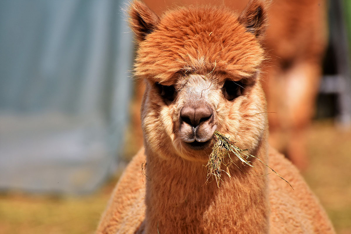 The face of an alpaca with reddish brown fur with short, pointy ears standing up and chewing on hay.