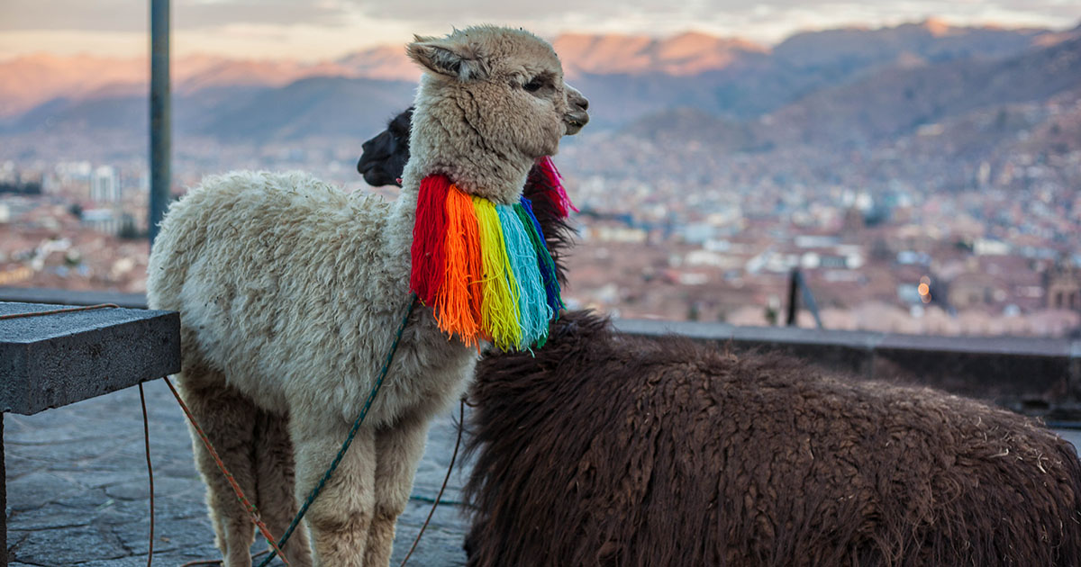 One white and one brown alpaca overlook Cusco city. The white one has a rainbow fleece collar.