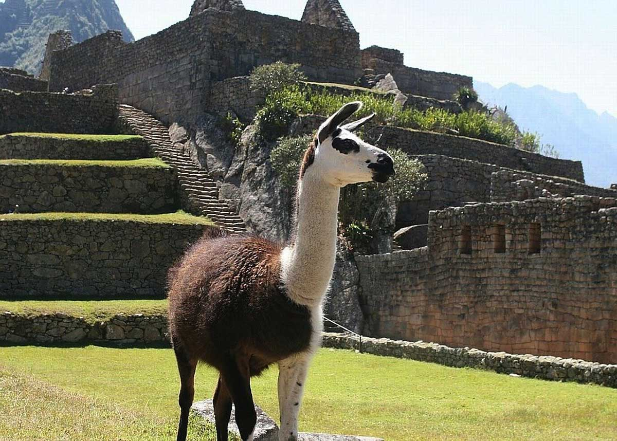 A brown and white llama at Machu Picchu. Stone walls and terraces of the citadel behind the llama.