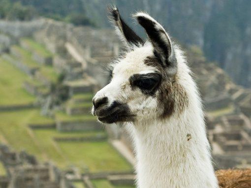 A llama in front of Machu Picchu