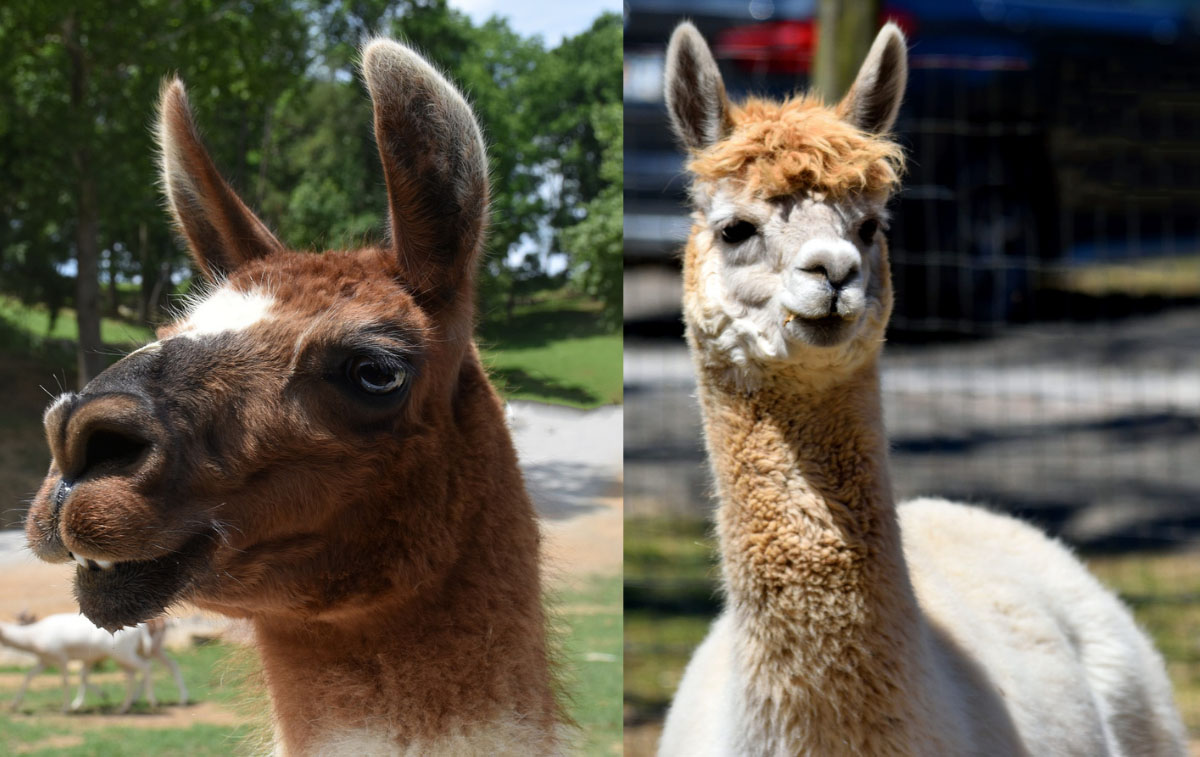 A brown llama face and a tan and white alpaca face juxtaposed showing the difference in features.