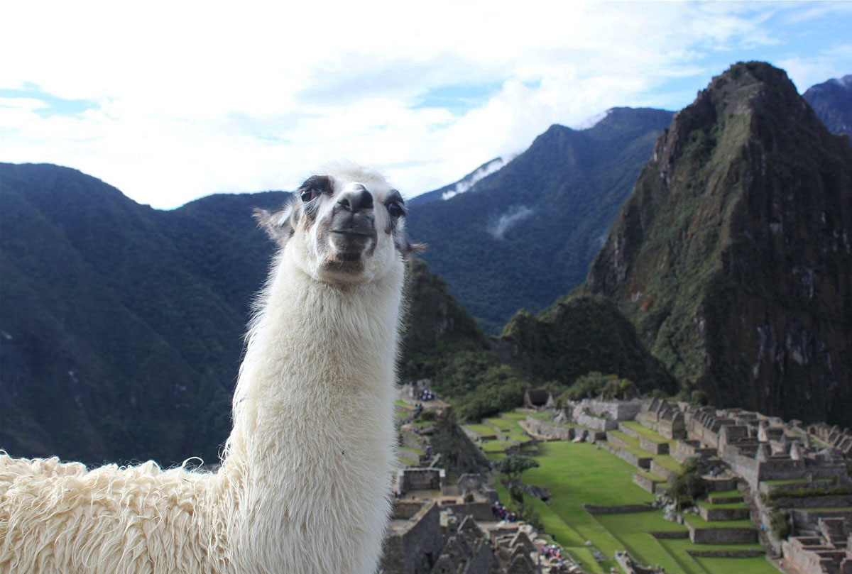 A white llama with the Machu Picchu ruins, Huayna Picchu peak, and surrounding mountains behind.
