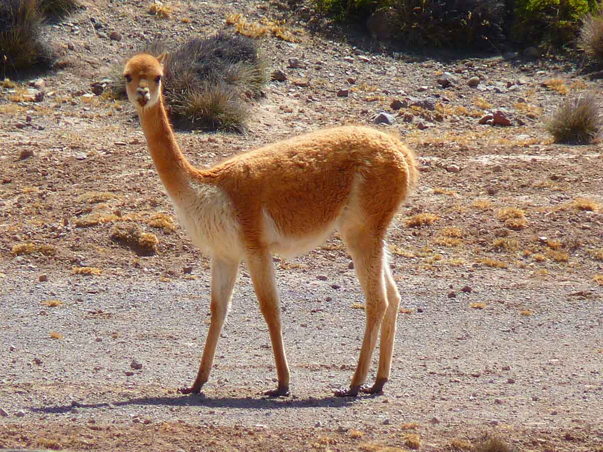 A vicuña, an orange and white animal similar to an alpaca, stands in a barren, rocky terrain.