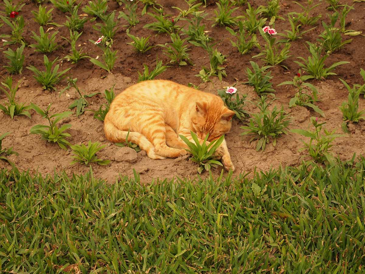Orange cat sleeping in a flower bed at Parque Kennedy.