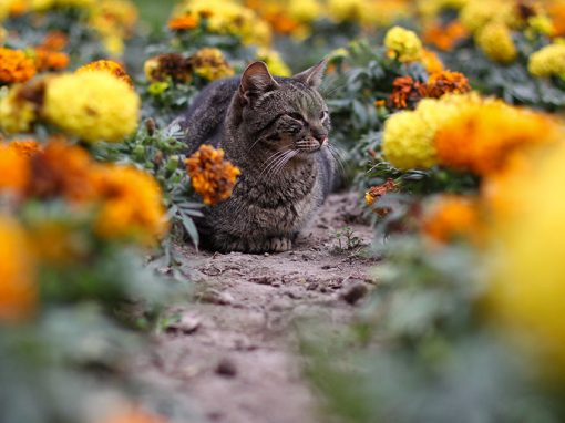 A cat with flowers at Parque Kennedy in Miraflores, Lima