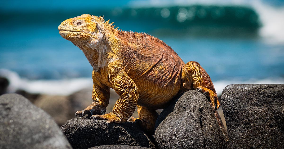 A yellow land iguana sitting on black rocks with the Pacific Ocean in the background.