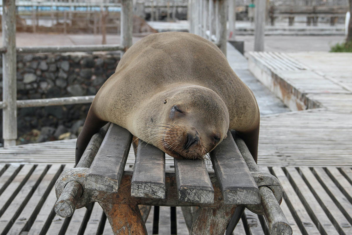 A sea lion napping on a wooden bench in the Galapagos.