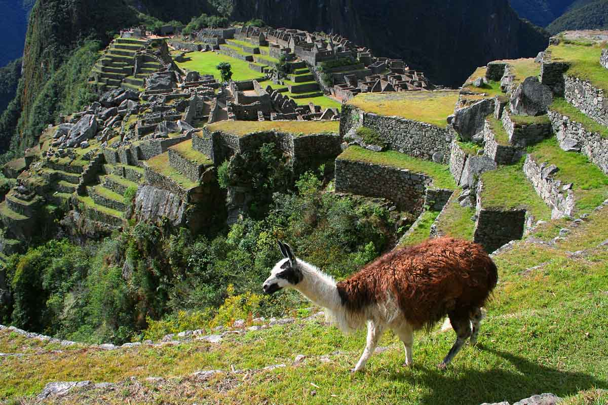 A llama wanders through a viewpoint of the Machu Picchu ruins.