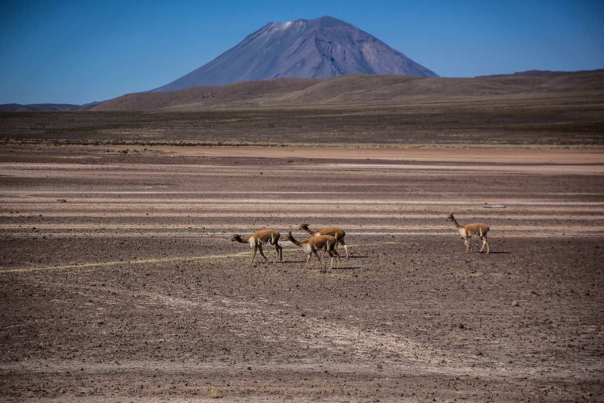 Wild vicunas roaming around Aguada Blanca National Reserve wiht a volcano summit in the background.