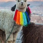 white smiling baby alpaca with colorful rainbow necklace and mountains in the background