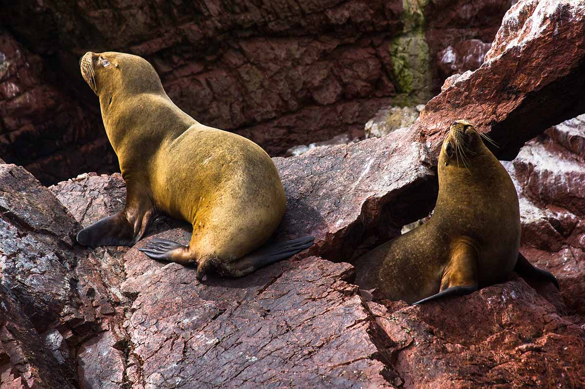 Two mature brown sea lions sit on the red rocks of Ballestas Islands