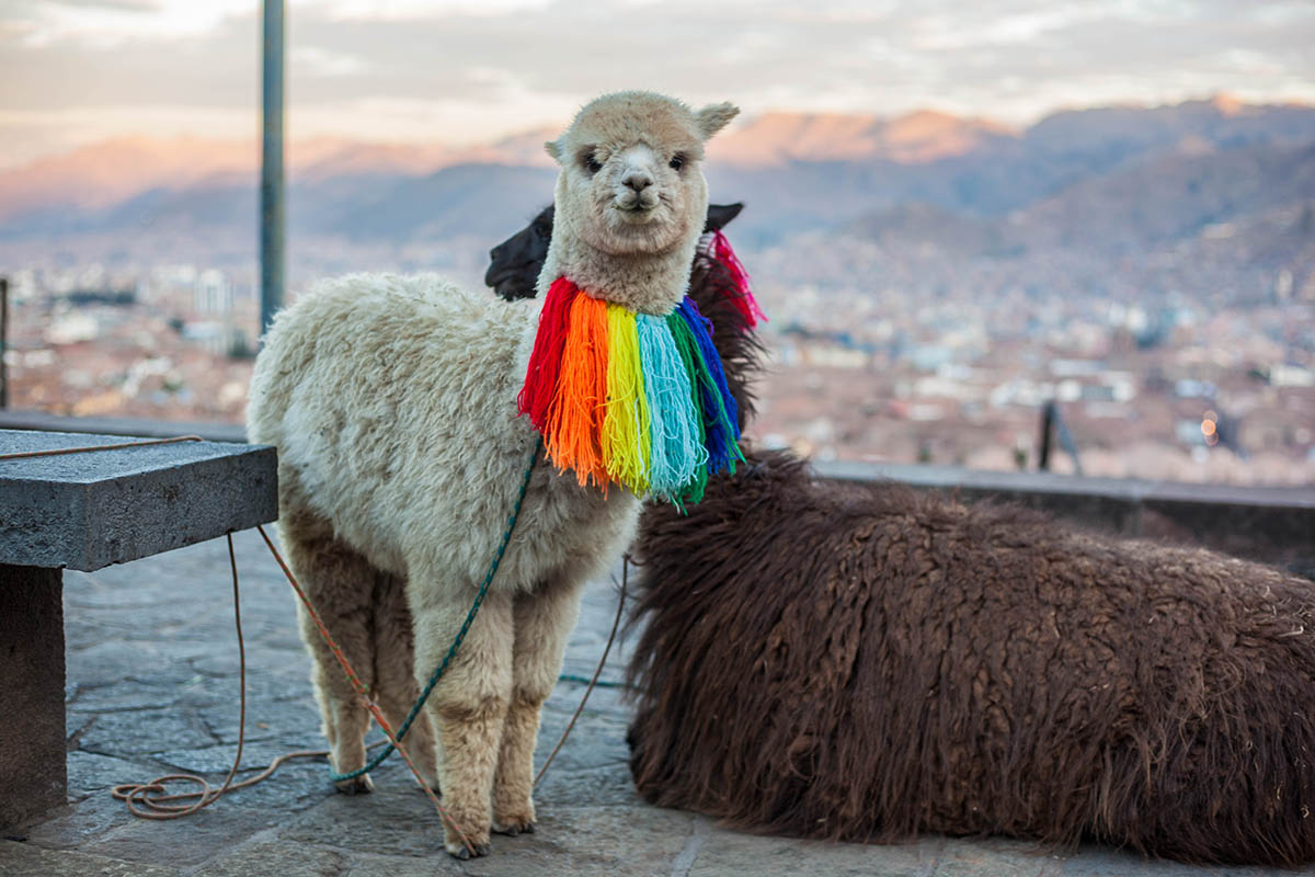 A white alpaca stands looking at the camera with colorful decorations tied around its neck.