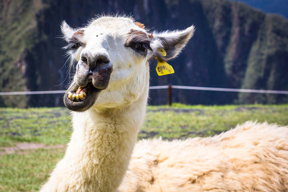 An up-close portrait of a white llama chewing on grass.
