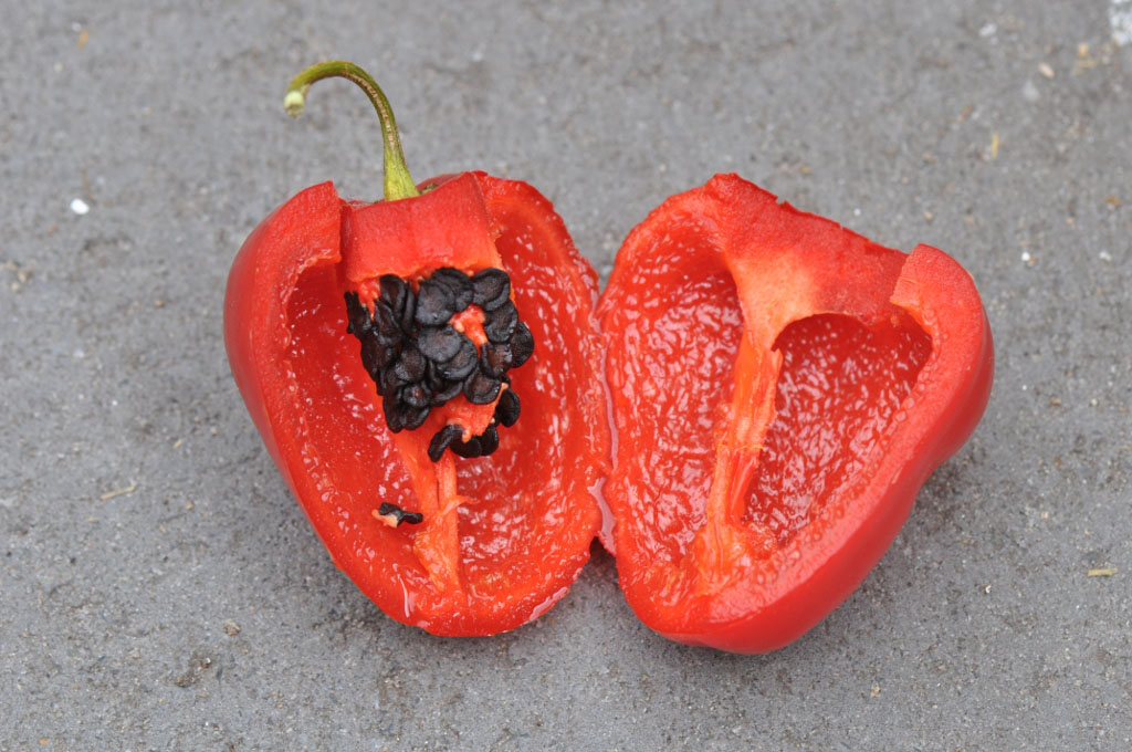 Red rocoto pepper cut in half with black seeds and green stem.