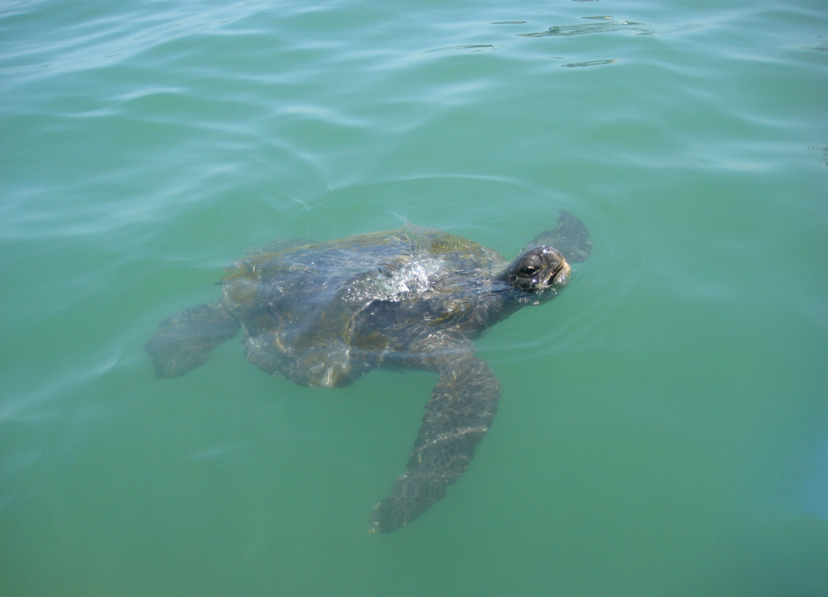 A mature sea turtle swimming in the turquoise ocean water comes up for air in Mancora, Peru.