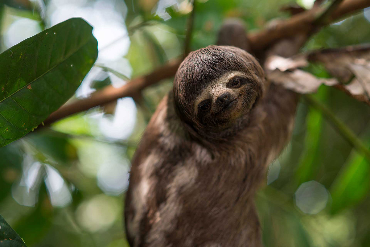 Sloth in the trees of the Amazon Rainforest.
