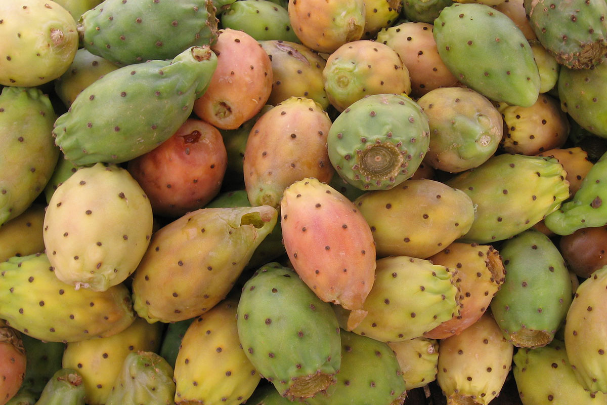 A pile of the prickly cactus fruit known as tunas.