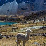 white alpaca in front of other alpacas with snow covered mountains behind them