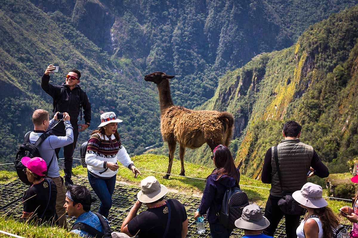 A view of a group of tourists taking photos with a brown llama on the terraces. One person is taking a selfie with the llama. The crowd of tourists are happy and smiling.