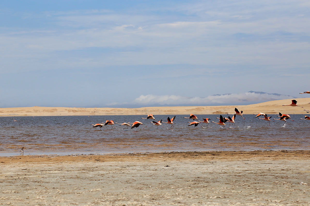 A group of pink and black flamingos flying low over a lake in the Paracas National Reserve.