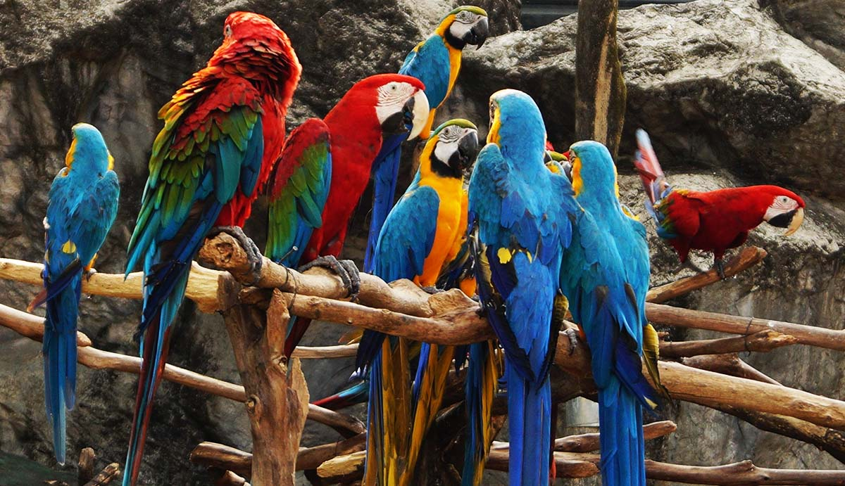 Three red and green macaws perch with five blue and yellow macaws near a rock wall in Iquitos, Peru.