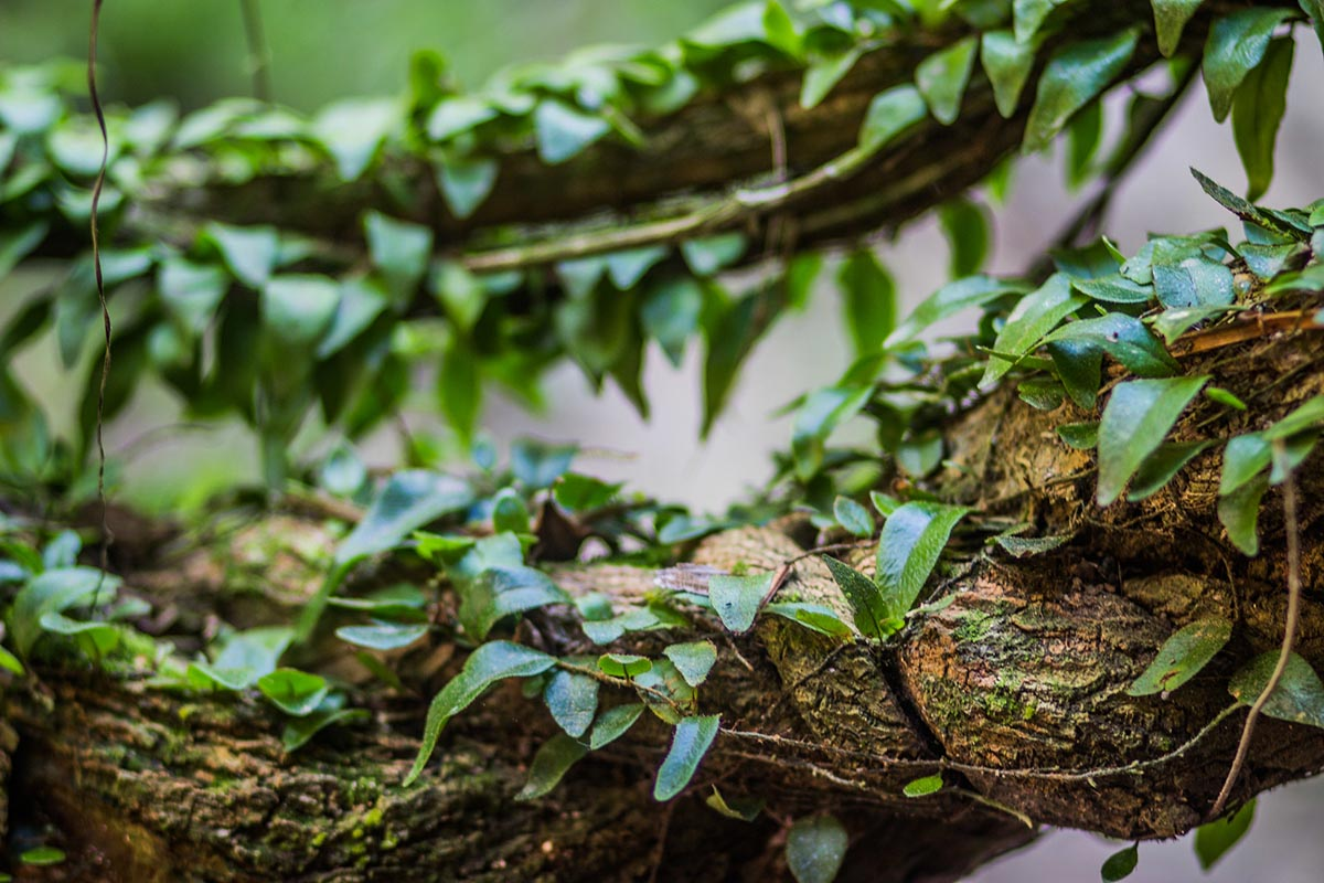 Thin vines with green leaves wrap around a thicker vine; vital ingredients for an Ayahuasca brew.