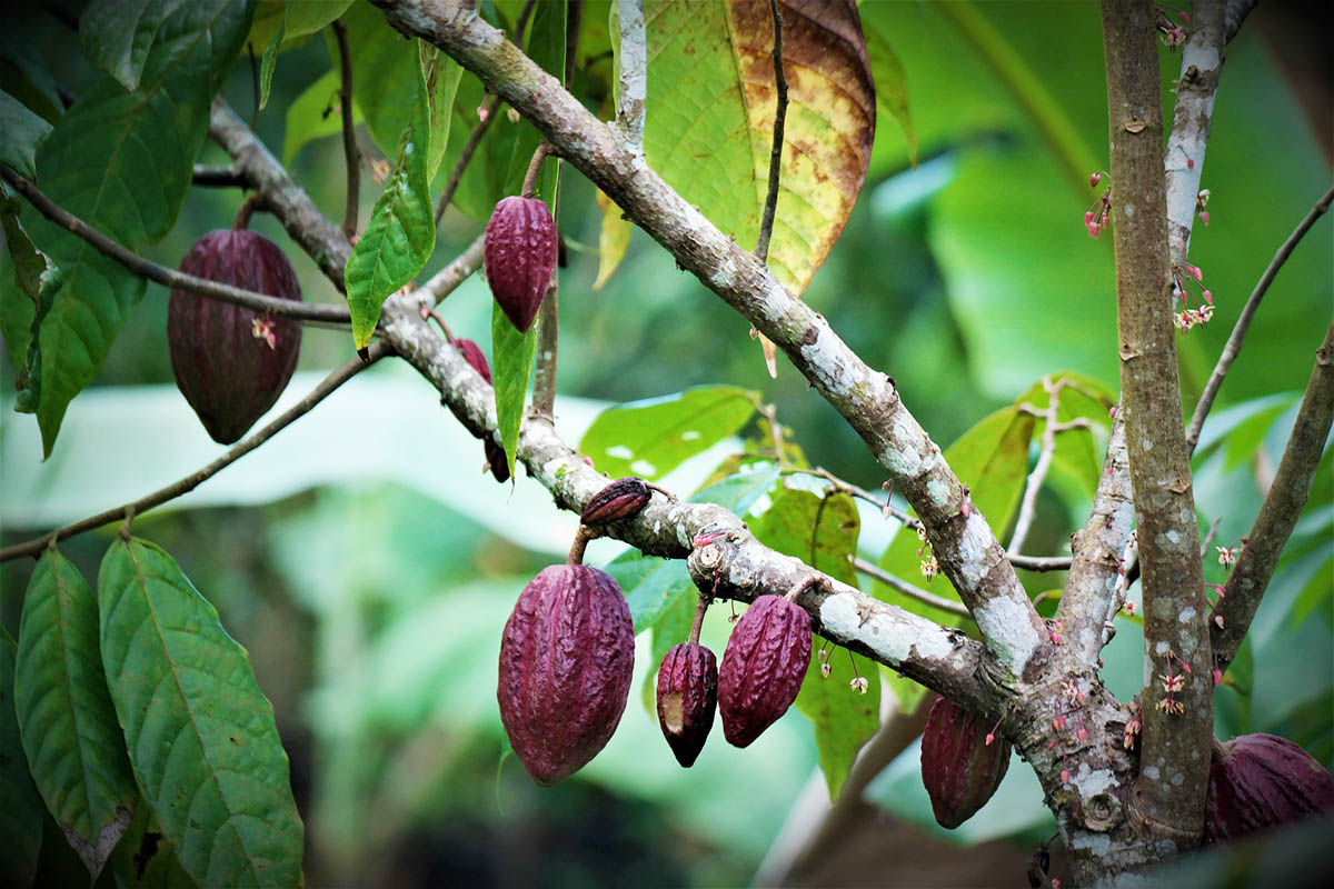 Brown pod-like cacao fruit growing on a theobroma cacao tree with green leaves that grows in Peru.