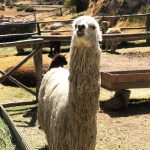 long white haired llama smiling in a mountain valley pasture