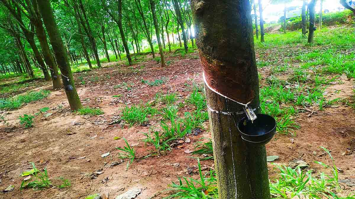 White liquid latex being tapped from rubber trees into bowls attached to their trunks.