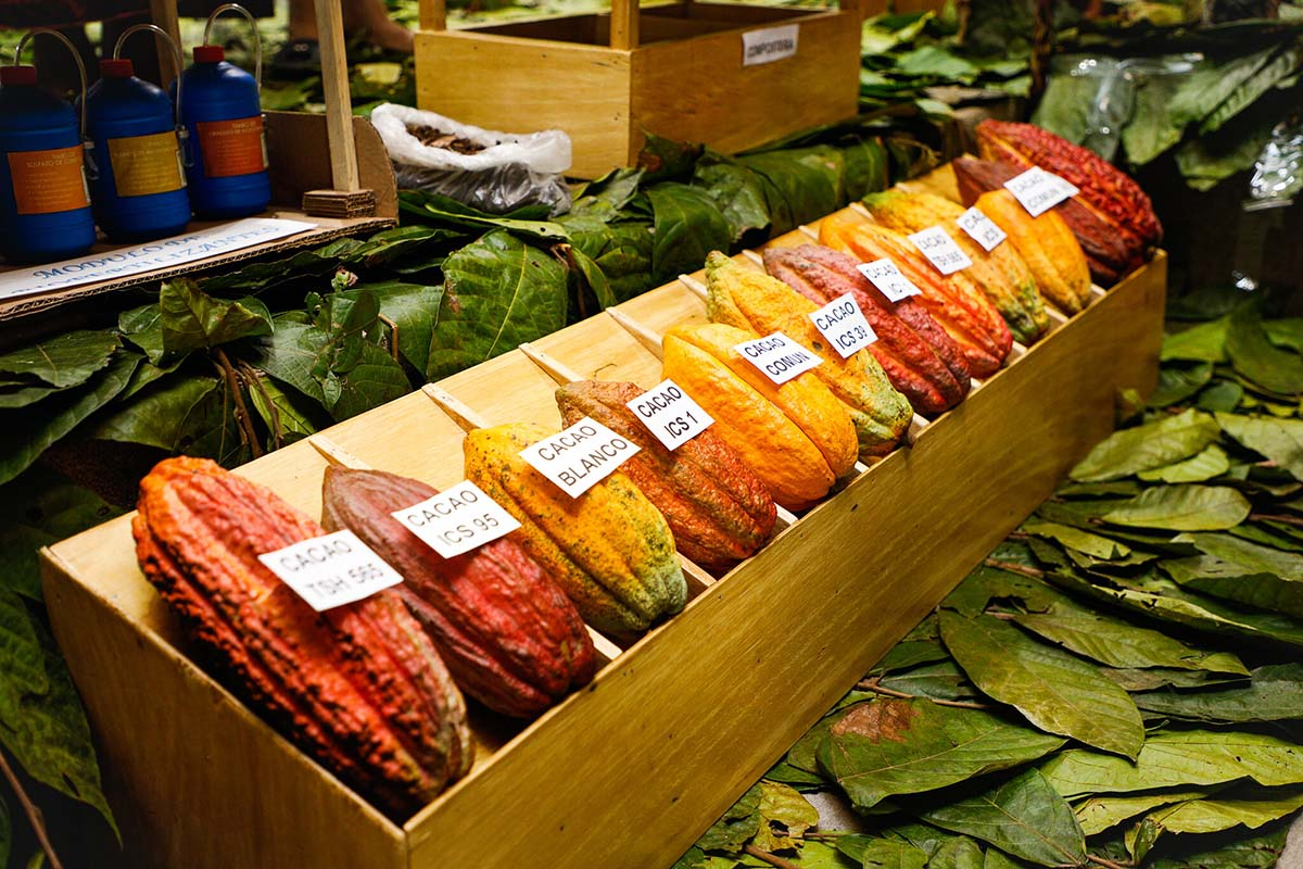 A row of different cacao pods on display at a local market, which can then be made into chocolate