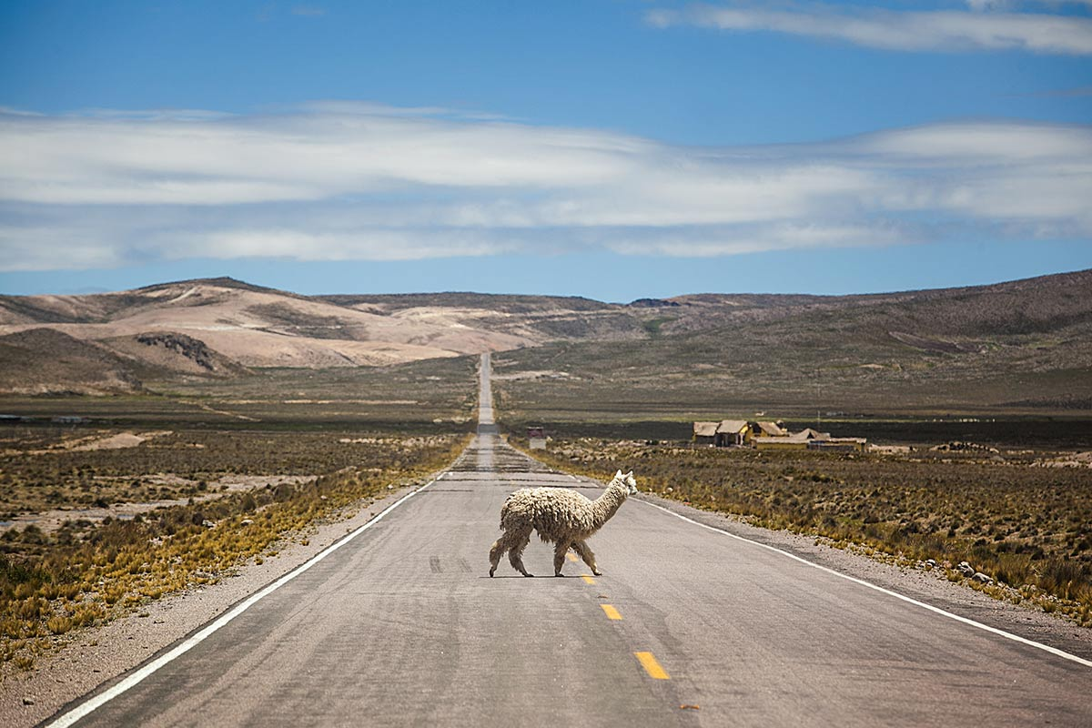 A shaggy looking white alpaca crossing a road in the Salinas and Aguada Blanca National Reserve.