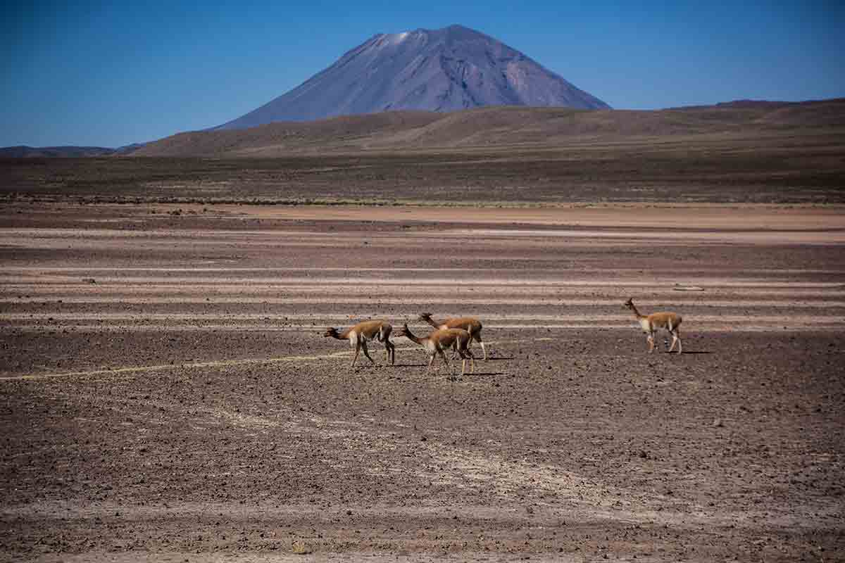 Four wild vicuñas walk through Salinas and Aguada Blanca National Reserve with a volcano behind.