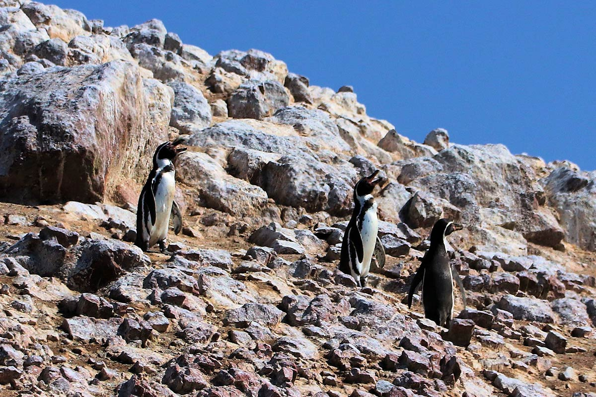 Three adult Humboldt penguins standing on the rocky landscape of the Ballestas Islands on a clear day.