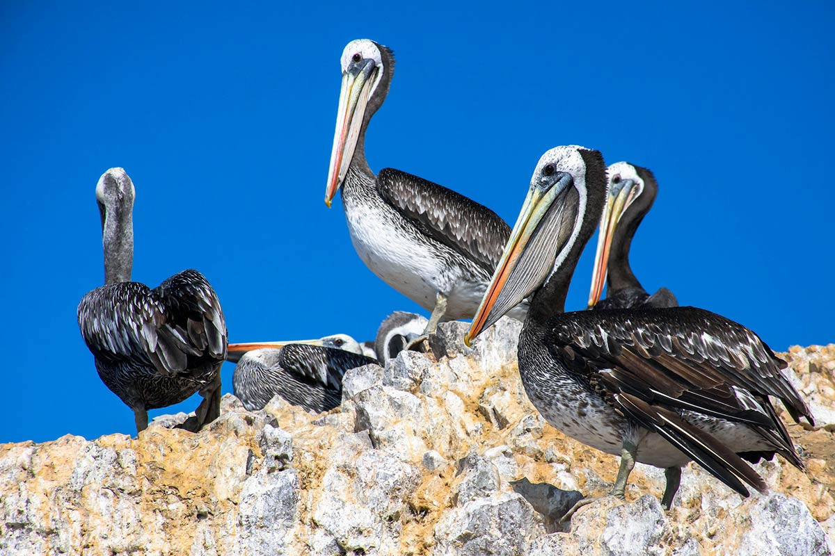 Four adult Peruvian pelicans resting on the tan and white rocky terrain of the Ballestas Islands.