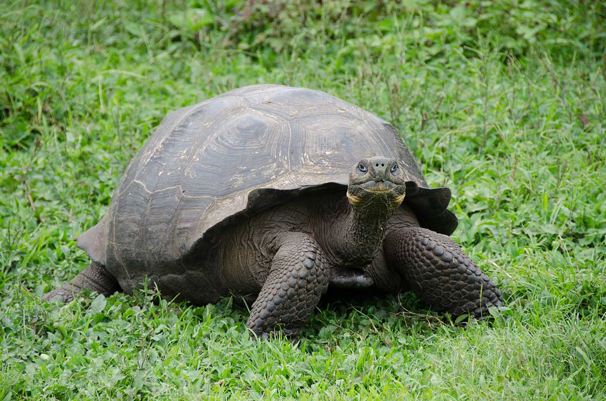 A Galapagos giant tortoise stares at the viewer as it sits on vibrant green grass.