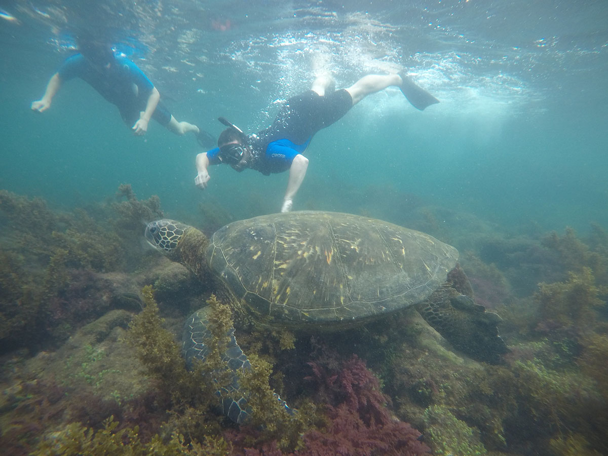 A human-sized sea turtle is seen by two snorkelers in the Galapagos Islands.