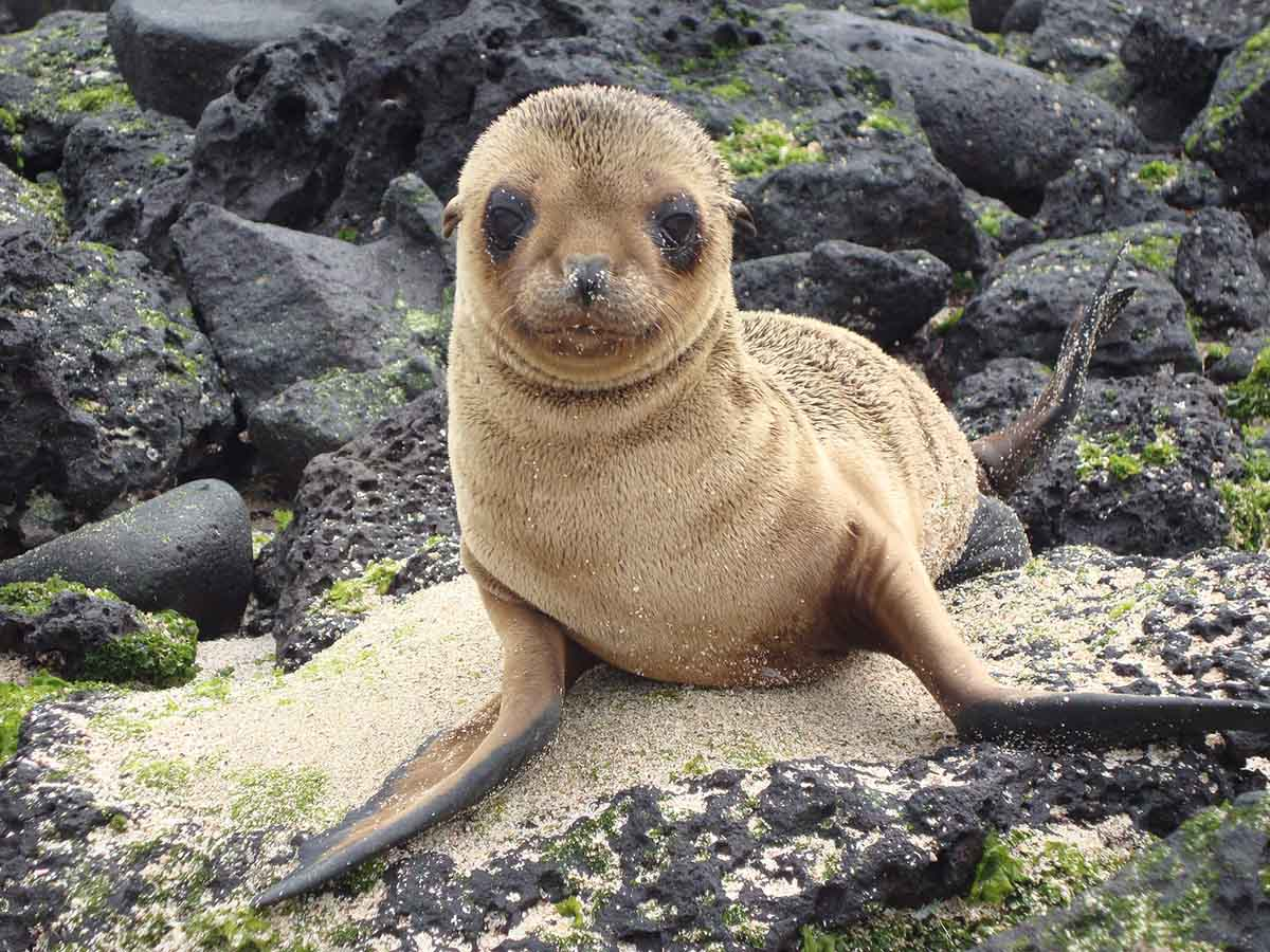 A light brown baby sea lion sits on lava rocks and sand as it looks at the viewer.